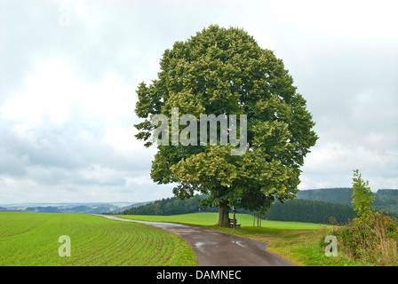 small-leaved lime, littleleaf linden, little-leaf linden (Tilia cordata), single tree at a feld path, Germany, Saxony - Stock Photo