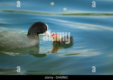 black coot (Fulica atra), adult feeding its chick on the water, Germany - Stock Photo