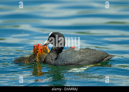 black coot (Fulica atra), feeding its chicks on the water, Germany - Stock Photo