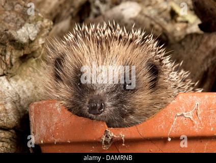 European hedgehog in plant pot - Stock Photo
