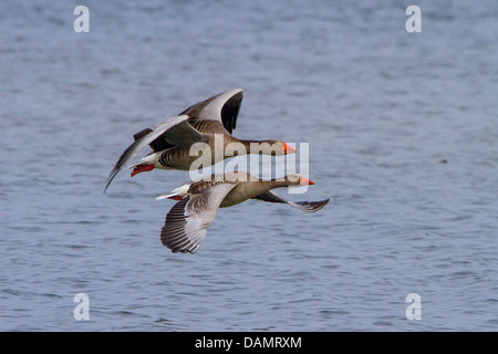 greylag goose (Anser anser), couple flying close to the water surface, Germany, Bavaria, Lake Chiemsee - Stock Photo