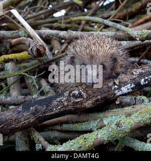 European hedgehog in garden log pile - Stock Photo