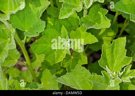common marsh-mallow, common marshmallow (Althaea officinalis), leaves, Germany - Stock Photo