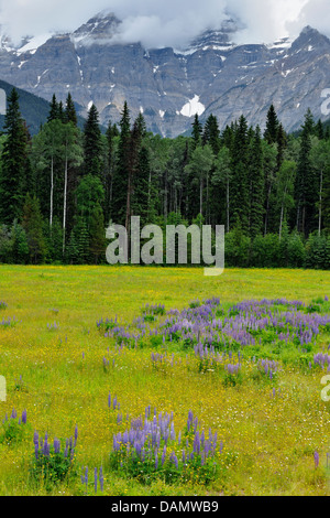 Lupines and aspens in the Mountain View meadows Mt. Robson Provincial Park British Columbia Canada - Stock Photo