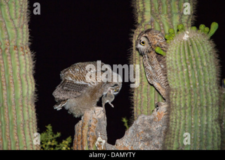 great horned owl (Bubo virginianus), adult bird feeding a young bird with a small mammal at the nest in the Saguaro, - Stock Photo