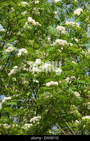 European mountain-ash, rowan tree (Sorbus aucuparia), blooming branches, Germany - Stock Photo