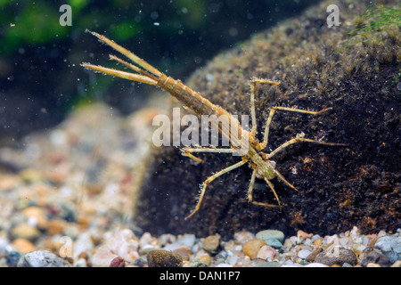 bluewing, demoiselle agrion (Calopteryx virgo), dragonfly larva underwater - Stock Photo