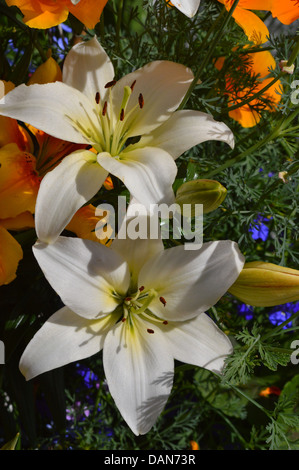 White lily flowers amongst a colorful array  of other plants , buds and greenery - Stock Photo