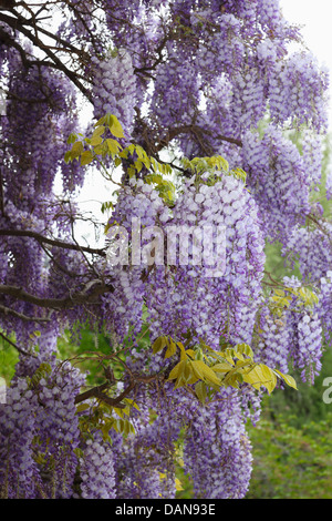 Tree Wisteria in bloom in Merano center town,South Tyrol - Stock Photo