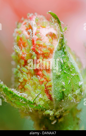 Aphids on rose bud. - Stock Photo