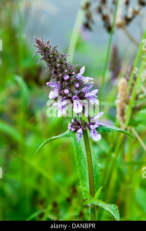 Marsh Woundwort Flowers in Bloom on Towpath of Trent and Mersey Canal at Rode Heath Cheshire England United Kingdom - Stock Photo