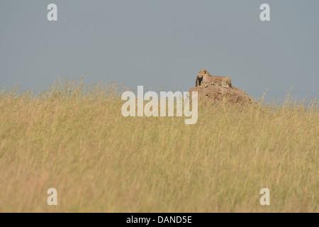 Cheetah (Acinonyx jubatus) female lying on termite mound with her cubs Masai Mara - Kenya - Stock Photo