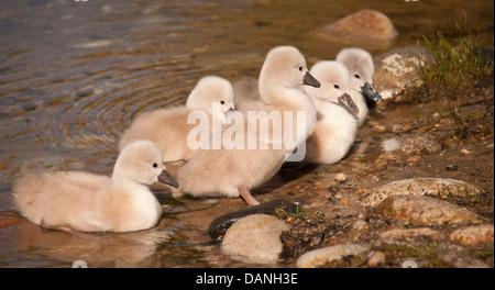 Newly hatched Mute Swan Cygnets near the Boise river Greenbelt, Boise, Idaho - Stock Photo