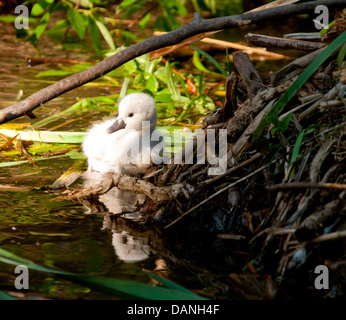 Newly hatched Mute Swan cygnet resting on the edge of nest in Marshland on the Boise river greenbelt, Boise, Idaho - Stock Photo