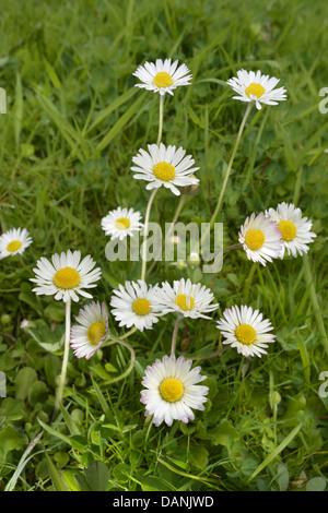 DAISY Bellis perennis (Asteraceae) - Stock Photo