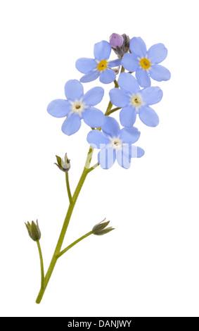 WOOD FORGET-ME-NOT Myosotis sylvatica (Boraginaceae) - Stock Photo