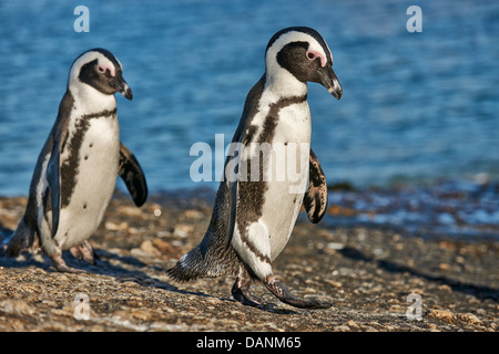 African Penguin, Spheniscus demersus, Boulders Beach, Simon's Town, Cape Town, Western Cape, South Africa - Stock Photo