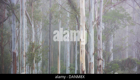 Tall moist eucalypt forest in early morning mist, Watagans National Park, near the Central Coast of NSW, Australia - Stock Photo