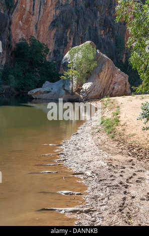 Freshwater crocodiles resting on the banks of Lennart River in the Windjana Gorge National Park, Kimberley, Western - Stock Photo