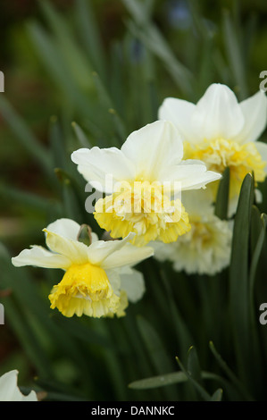 White and yellow daffodils in a garden setting. - Stock Photo