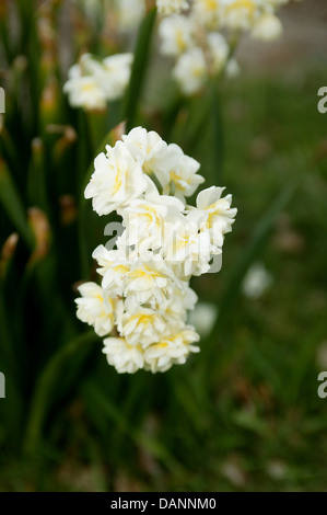 A bunch of bright white and yellow jonquils in a garden setting. - Stock Photo