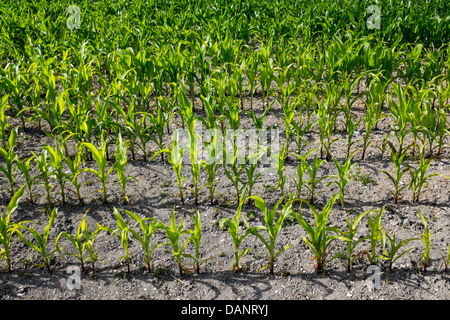 Young Corn Growing in Field - Stock Photo