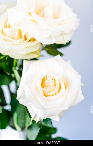 bouquet of beautiful and tenderly white roses - Stock Photo