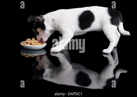 Chihuahua eats dog food on the black background - Stock Photo