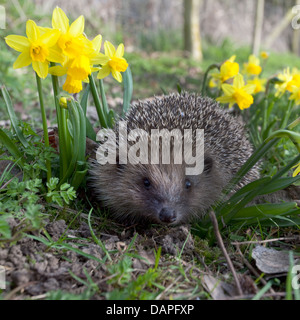 European hedgehog in garden - Stock Photo