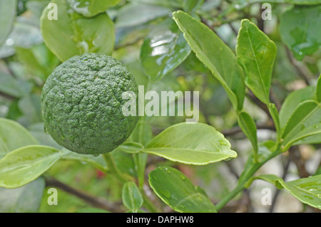 Citrus plant with raw fruits - Stock Photo