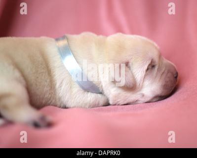 newborn yellow labrador puppy sleeping on pink background - Stock Photo
