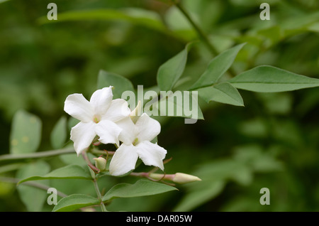Hanging airy white jasmine flowers on branch separated from background dappled in sunshine - Stock Photo