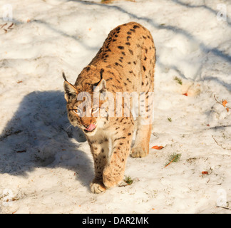Lynx licking its lips in snow in the Bavarian National Park - Stock Photo