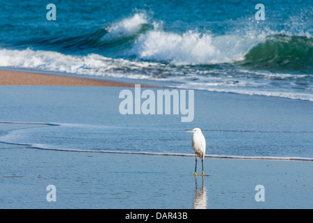 Photograph of a young Cattle Egret standing on the sand of the Ter river Delta in Catalunya, Spain. - Stock Photo