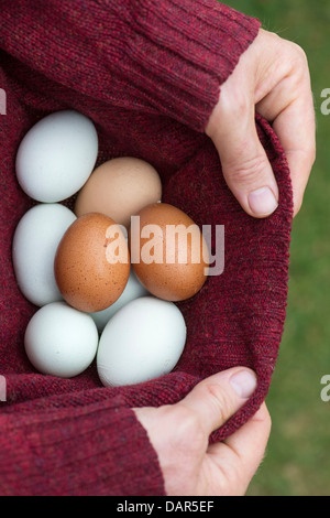 Man collecting freshly laid free range home produced eggs in his jumper - Stock Photo