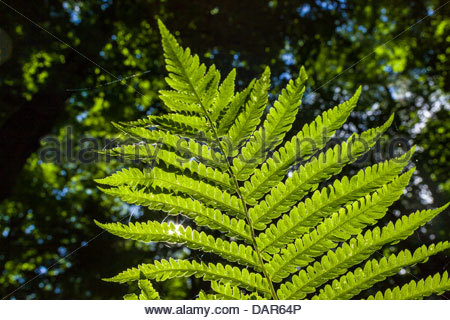 Sunlit fern in the Carolinian forest in Rouge National Urban Park an urban wilderness inside Toronto Ontario Canada - Stock Photo