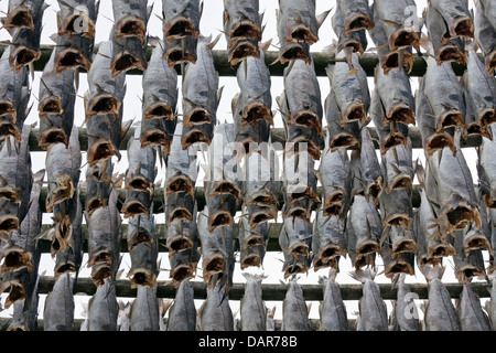 Atlantic cod (Gadus morhua) drying as stockfish on wooden racks / hjell to sell as dried fish, Lofoten, Norway, - Stock Photo