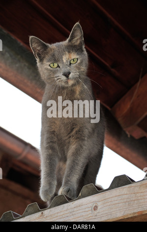 Hauskatze (Felis silvestris forma catus) Domestic cat • Ostalbkreis; Baden- Württemberg; Deutschland - Stock Photo