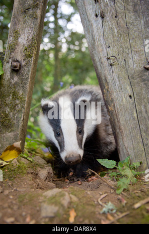 Badger; Meles meles; UK - Stock Photo