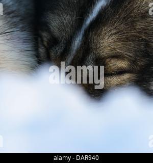 Siberian Husky sleeping, close-up - Stock Photo