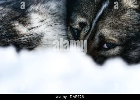 Siberian Husky, close-up of face, Sweden - Stock Photo