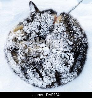 Siberian Husky covered in snow, Sweden - Stock Photo