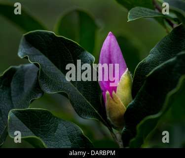 Japanese Magnolia - Stock Photo