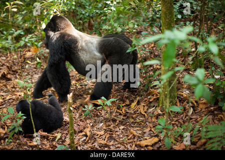Mountain gorillas, Volcanoes National Park, Rwanda. - Stock Photo