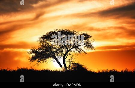 Sunset against acacia tree on african plains - Kalahari desert - South Africa - Stock Photo