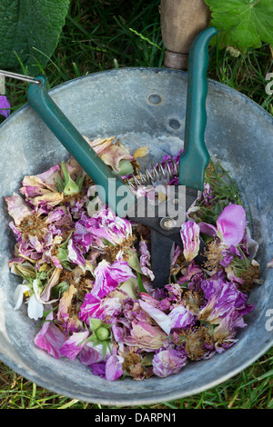 Dead headed roses with cutter in a metal pan - Stock Photo