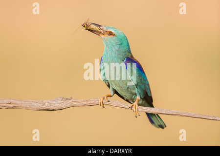 Wild European roller (Coracias garrulus) resting on a branch with a freshly caught insect - Stock Photo