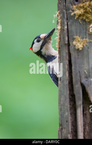 Close-up of a wild male great spotted woodpecker (Dendrocopos major) feeding on an old mossy wooden fence post, - Stock Photo