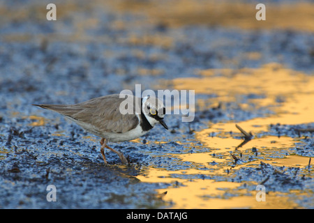 Little Ringed Plover (Charadrius dubius), Europe - Stock Photo