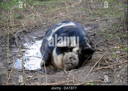 Why do pigs love mud? Pigs cannot sweat, and therefore cannot keep themselves cool like we humans can. Mud helps - Stock Photo